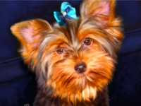 Teacup Yorkie Portrait